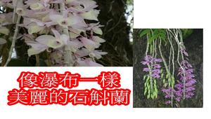石斛蘭-資源代表圖