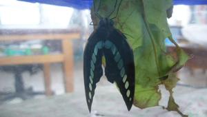 鳳蝶照片15-資源代表圖