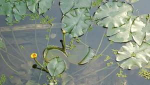 水生植物繁殖