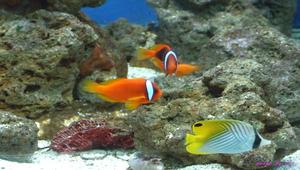 小丑魚-資源代表圖