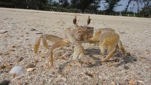戰地金門沙灘上的神速雙矛戰甲-角眼沙蟹