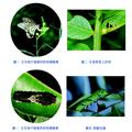 校園常見的昆蟲-柑橘鳳蝶