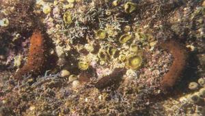 如何觀察海參?