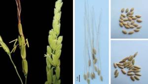 米粒新世界—稻米的馴化