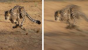 gimp影像編輯 一、製作速度感 花豹