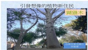 引發想像的植物新住民-猢猻木