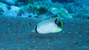 Chaetodon trifascialis (川紋蝴蝶魚)-資源代表圖