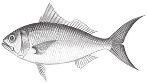 Etelis radiosus (多耙濱鯛)-資源代表圖