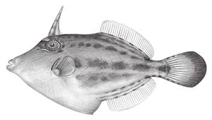Cantherhines fronticinctus (縱帶刺鼻單棘魨)-資源代表圖