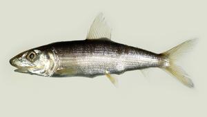 Albula koreana (東海狐鰮)-資源代表圖