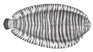 Pseudaesopia japonica (日本擬鰨)-資源代表圖