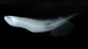 Neobythites fasciatus (橫帶新鼬魚)-資源代表圖