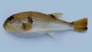 Takifugu vermicularis (蟲紋多紀魨)-資源代表圖