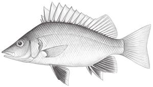 Mesopristes argenteus (銀身中鋸鯻)