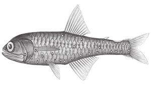 Notolychnus valdiviae (瓦氏尖吻背燈魚)