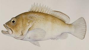 Epinephelus stictus (南海石斑魚)