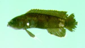 Acanthoplesiops hiatti (海氏若棘鮗)
