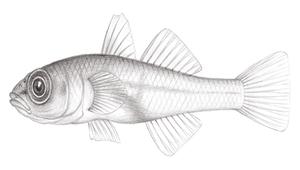 Bryaninops natans (漂遊珊瑚鰕虎)