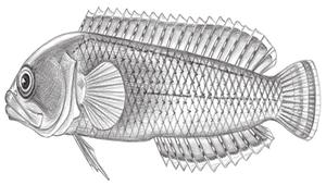 Beliops batanensis (菲律賓針鰭鮗)