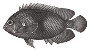 Centropyge nox (黑刺尻魚)