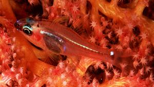 Ostorhinchus dispar (箭矢鸚天竺鯛)