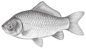 Carassius auratus auratus (鯽)