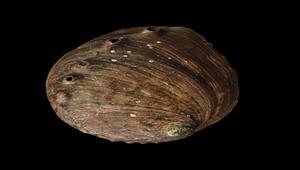 Haliotis discus (盤鮑螺)-資源代表圖