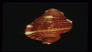 Cymatium rubeculum (豔紅美法螺)-資源代表圖