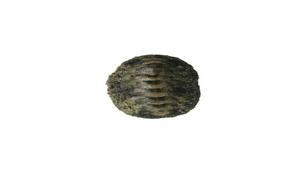 Liolophura japonica (大駝石鱉)-資源代表圖