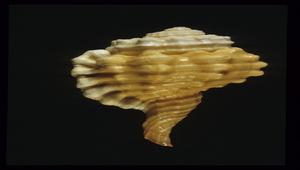 Cymatium encausticum (鳥頭象法螺)-資源代表圖