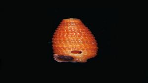 Inella truncis (蛹形格粒螺)